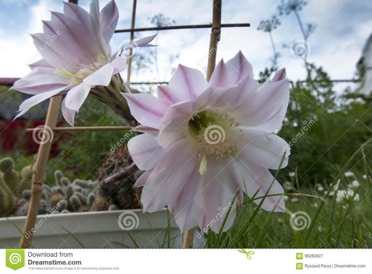 Small Cactus With Two Pink Flowers Stock Image Image Of Needles