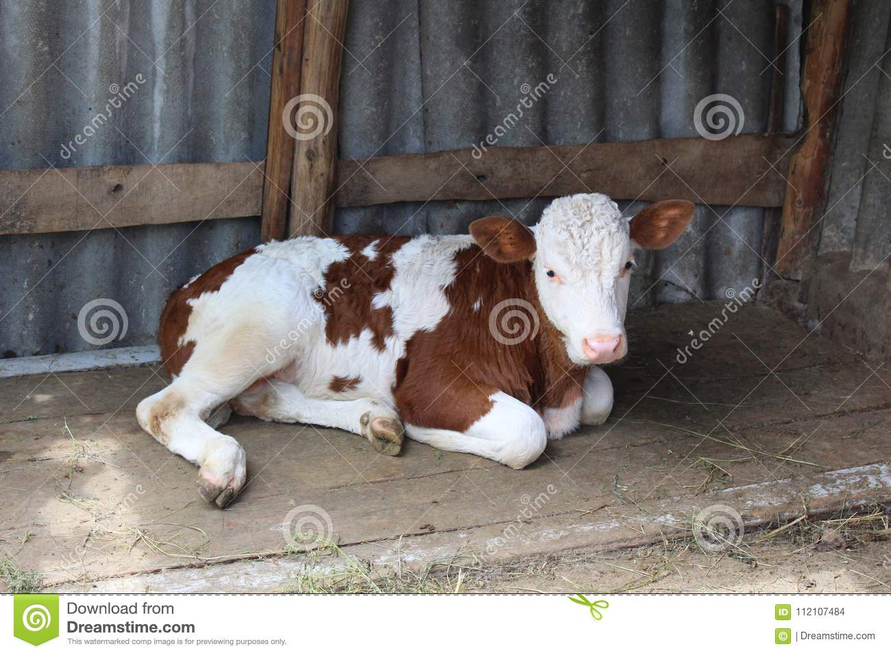 A small calf is in the stall. The bull-calf. Babe calf resting.