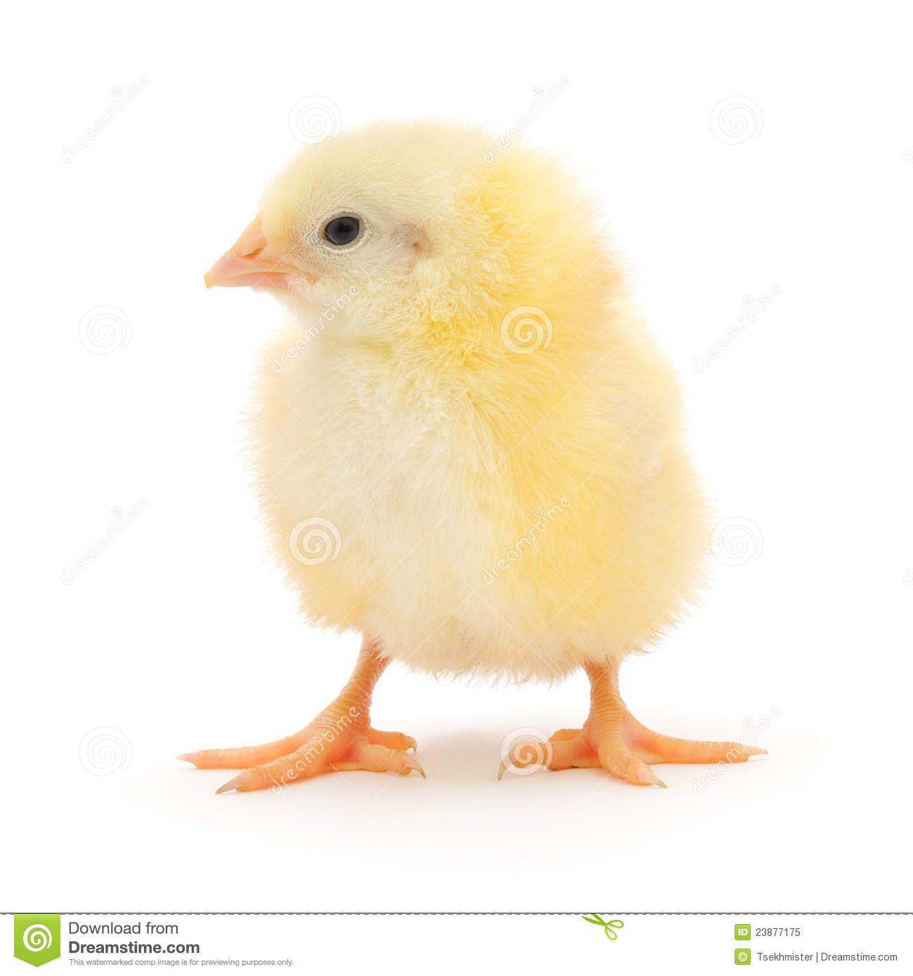 Small Chicken Royalty Free Stock Photo - Image: 23877175: http://dreamstime.com/royalty-free-stock-photo-small-chicken-image23877175