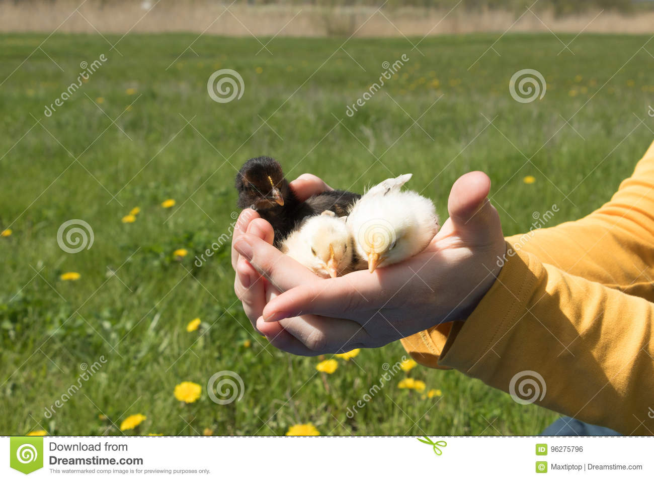 Small chickens in the palms