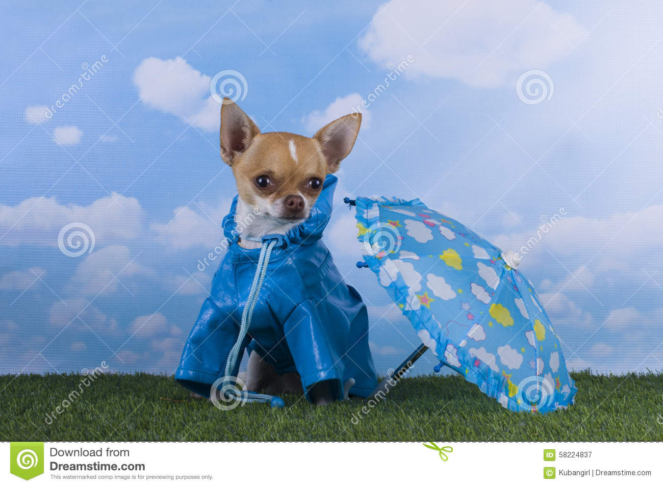 Small Chihuahua Puppy Playing In The Rain Stock Photo ...