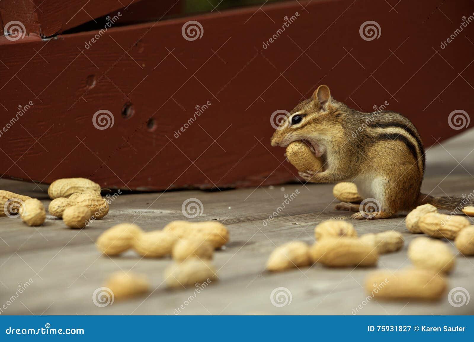 Small chipmunk taking a big bite.