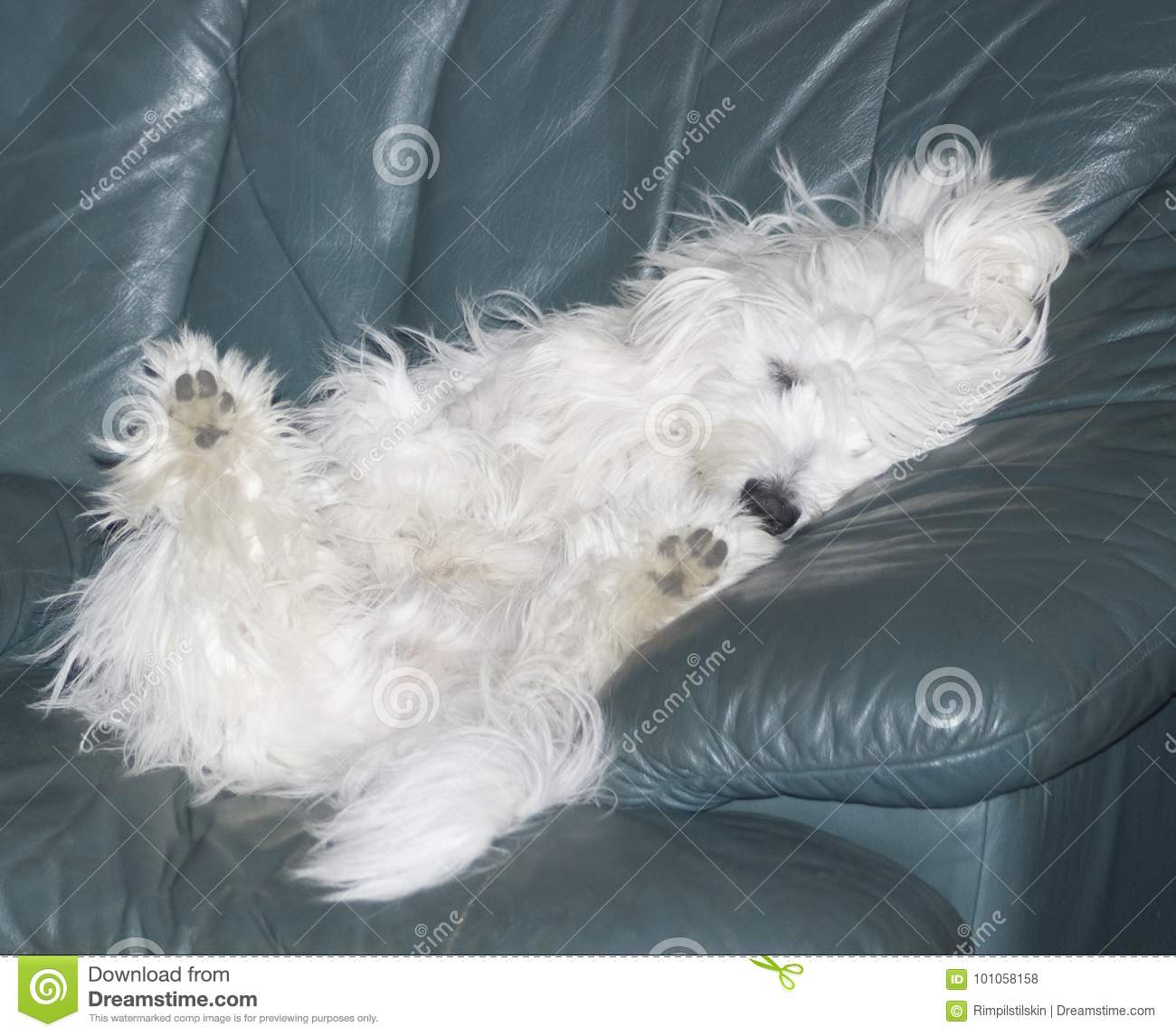 Admirable Small Coton De Tulear Puppy Sleeping On Leather Couch Stock Forskolin Free Trial Chair Design Images Forskolin Free Trialorg