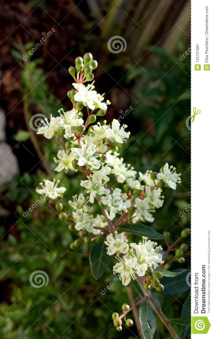 Small Cream Colored Aromatic Flowers Of The Henna Tree Stock Image