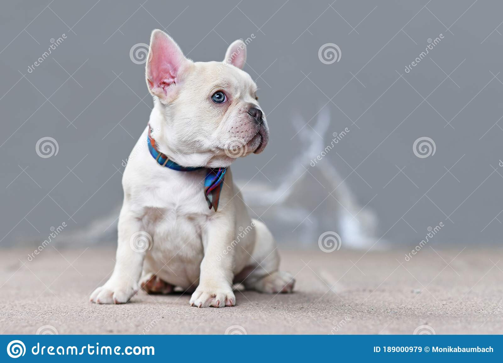 Small Cream White Colored French Bulldog Dog Puppy With Big Blue Eyes Wearing A Bow Tie Stock Image Image Of French Eyes 189000979