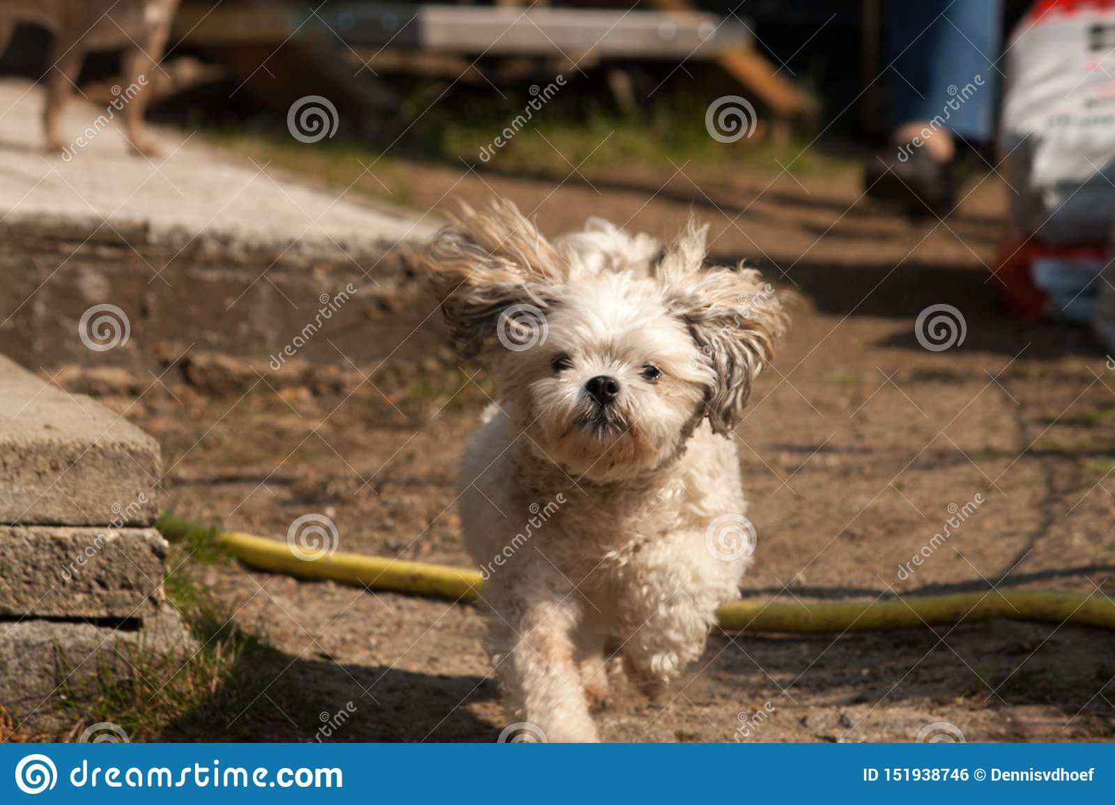 Small crossbreed dog walking in the park.