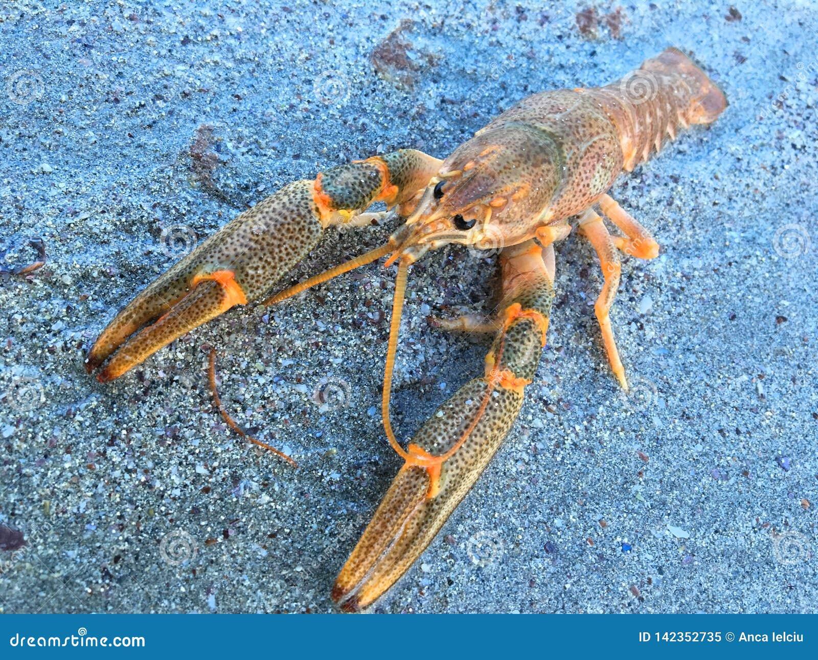 Small crustacean in Caspian Sea