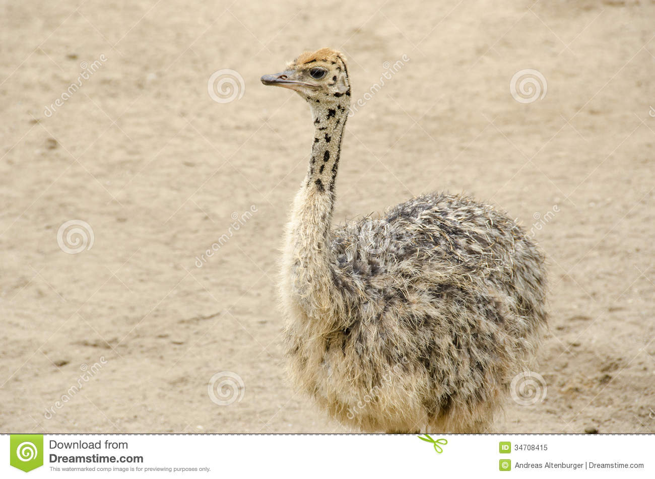 Small cute baby ostrich stock image image of white food - Bebe autruche ...