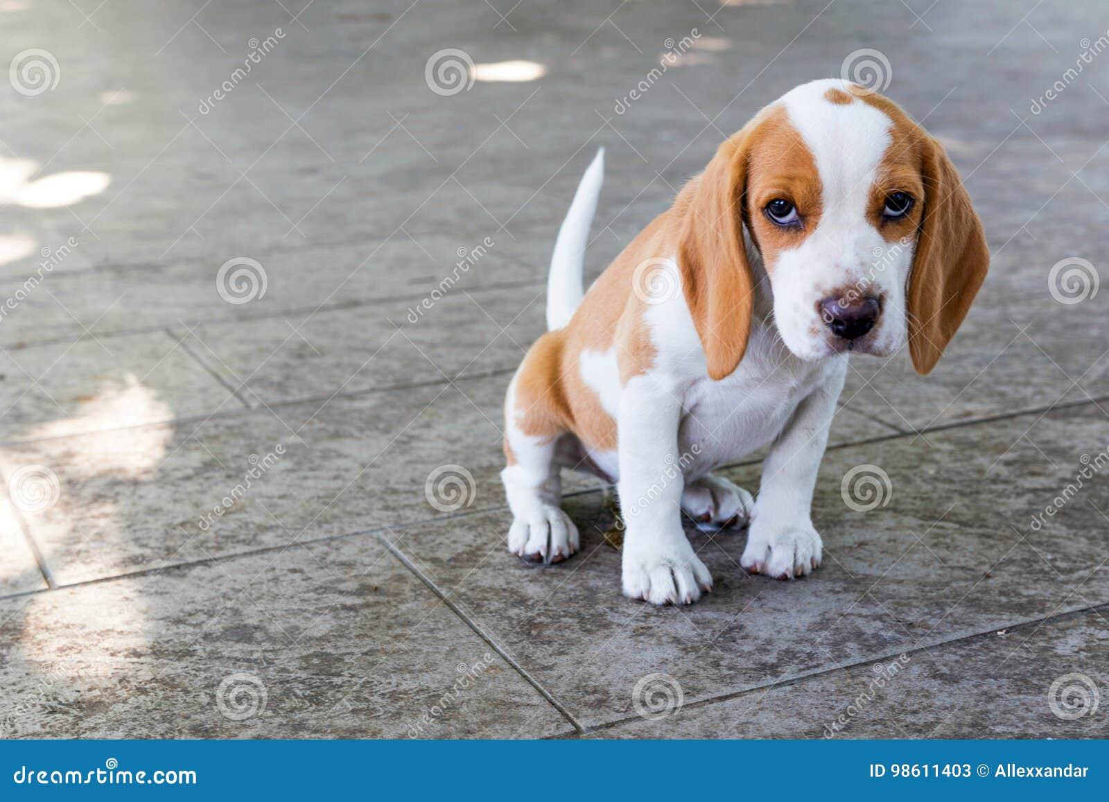 Small cute beagle puppy dog