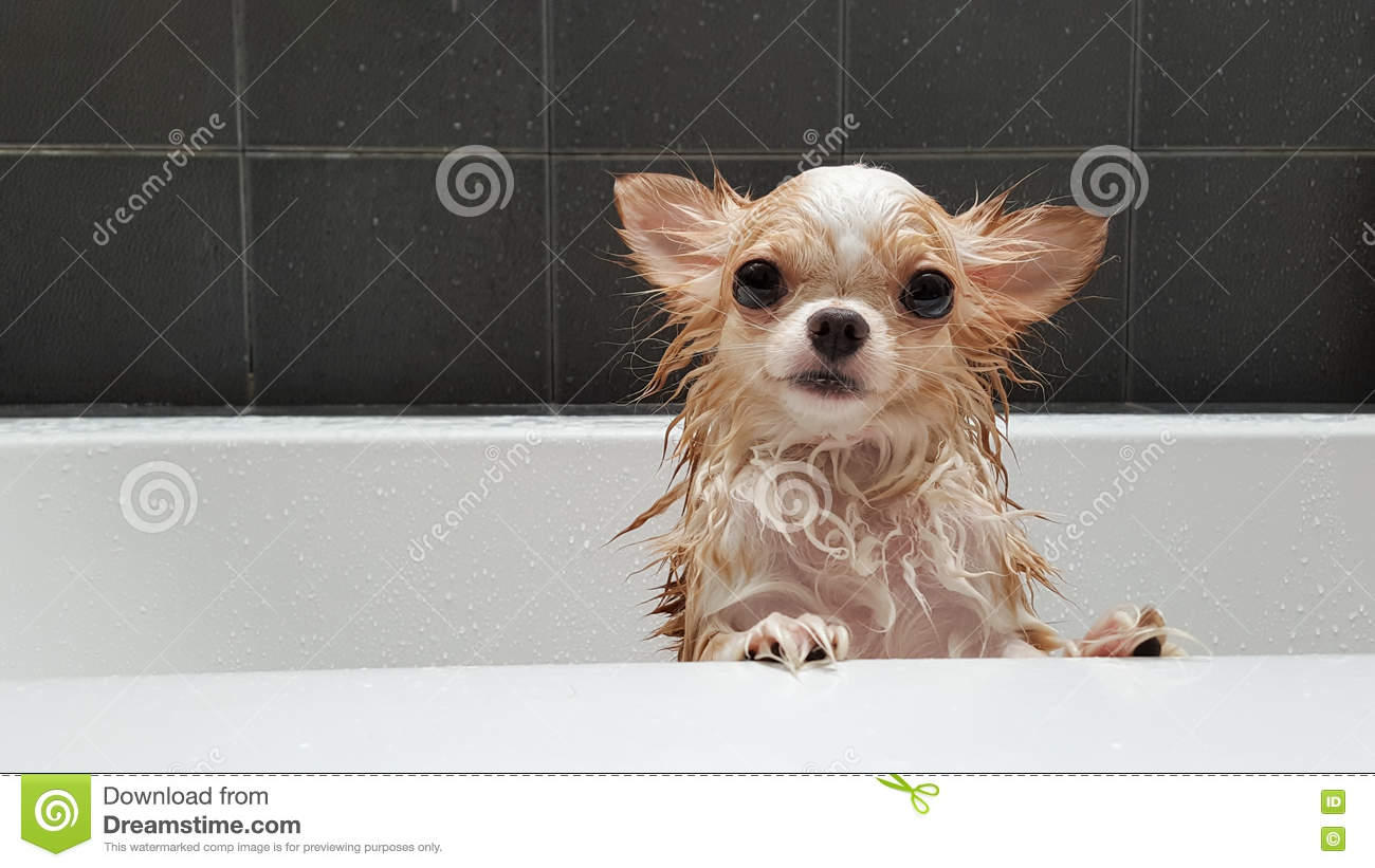 Small cute brown chihuahua dog waiting in the tub after taking a