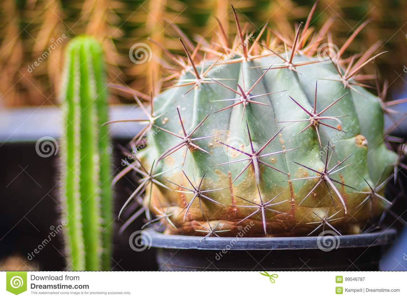 Small Cute Cactus For Sale At The Tree Market Stock Image Image