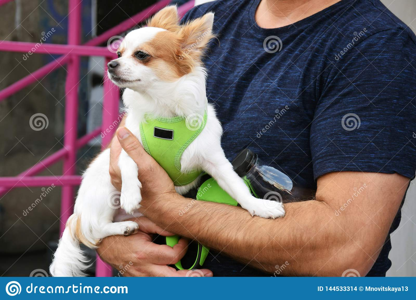 Small cute dog Chihuahua on the owners hands