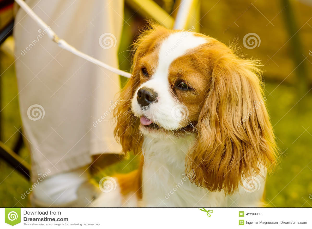 Portrait of small cute dog with long ears.