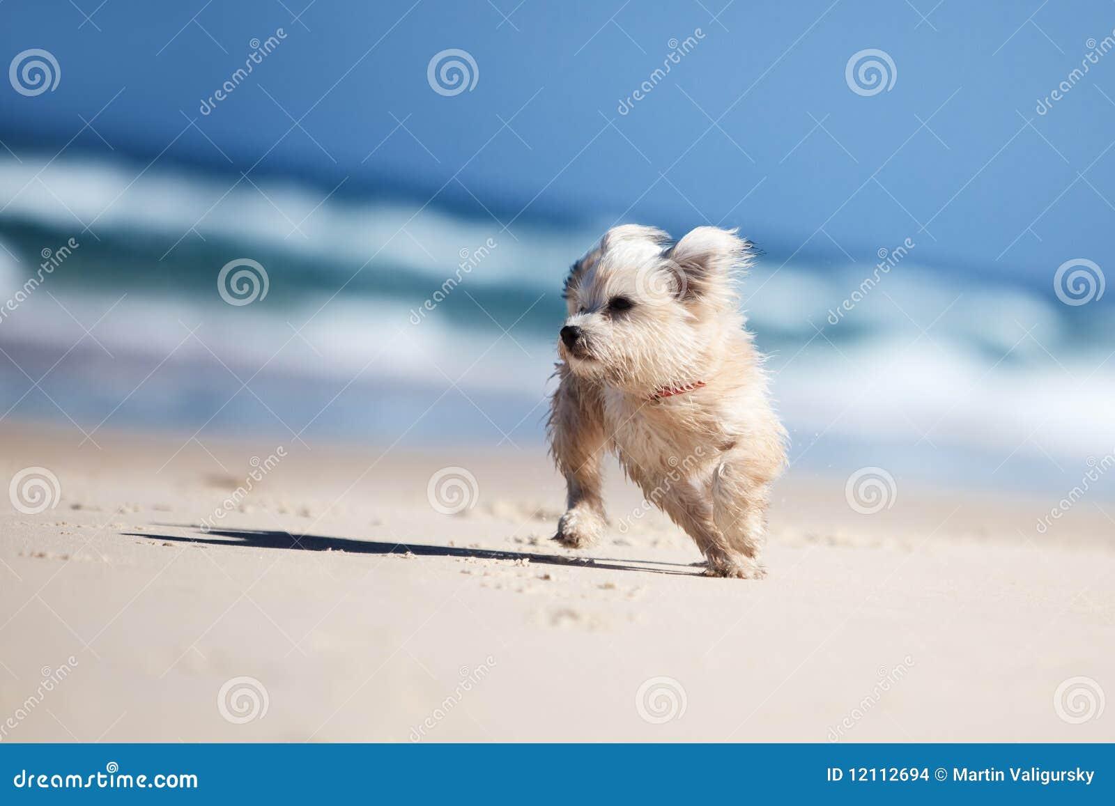 Small cute dog running on a white beach