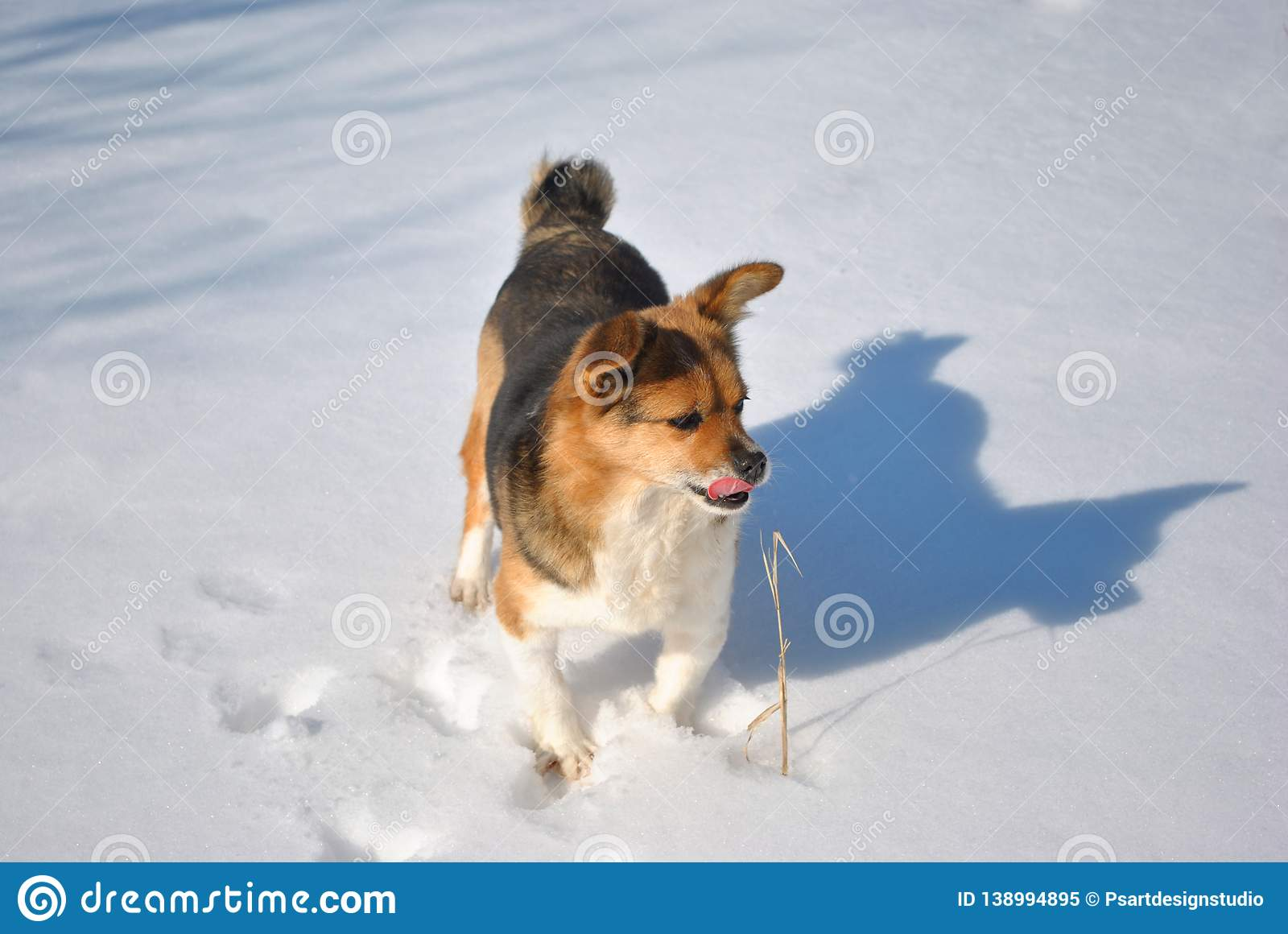 Small cute fluffy dog with white, brown and black patches standing on snow and looking on yellow grass twig, licks her tongue