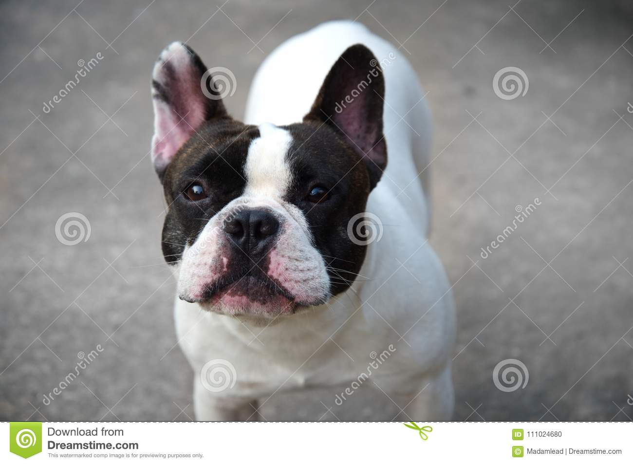 50 399 Cute Baby White Dog Photos Free Royalty Free Stock Photos From Dreamstime