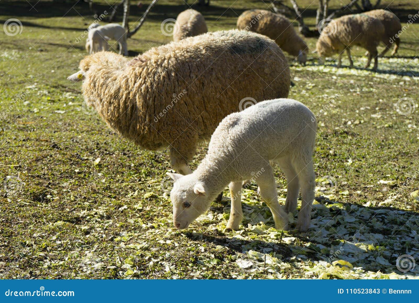 Small cute lamb