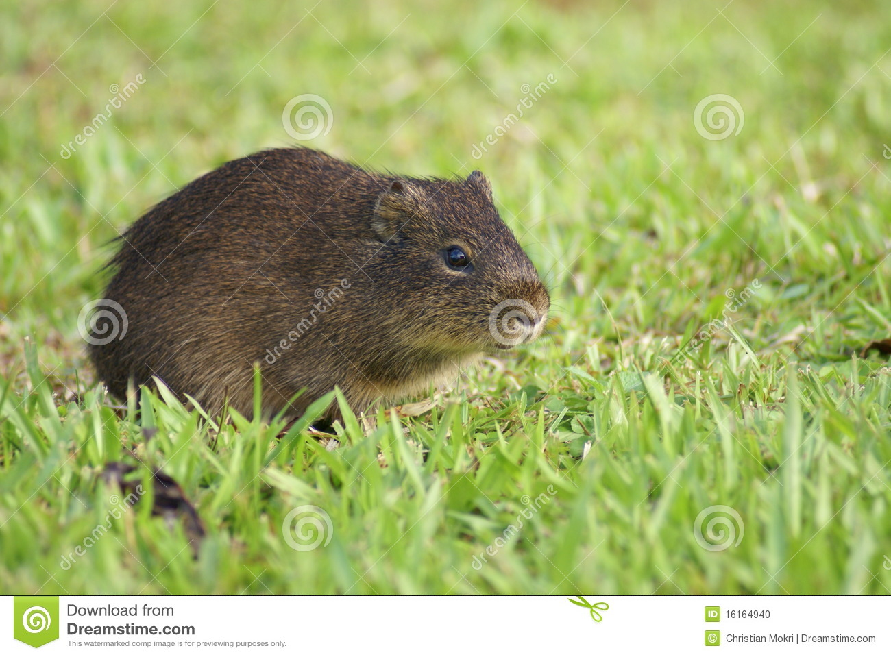 small and cute mammal in pampas stock photo image of