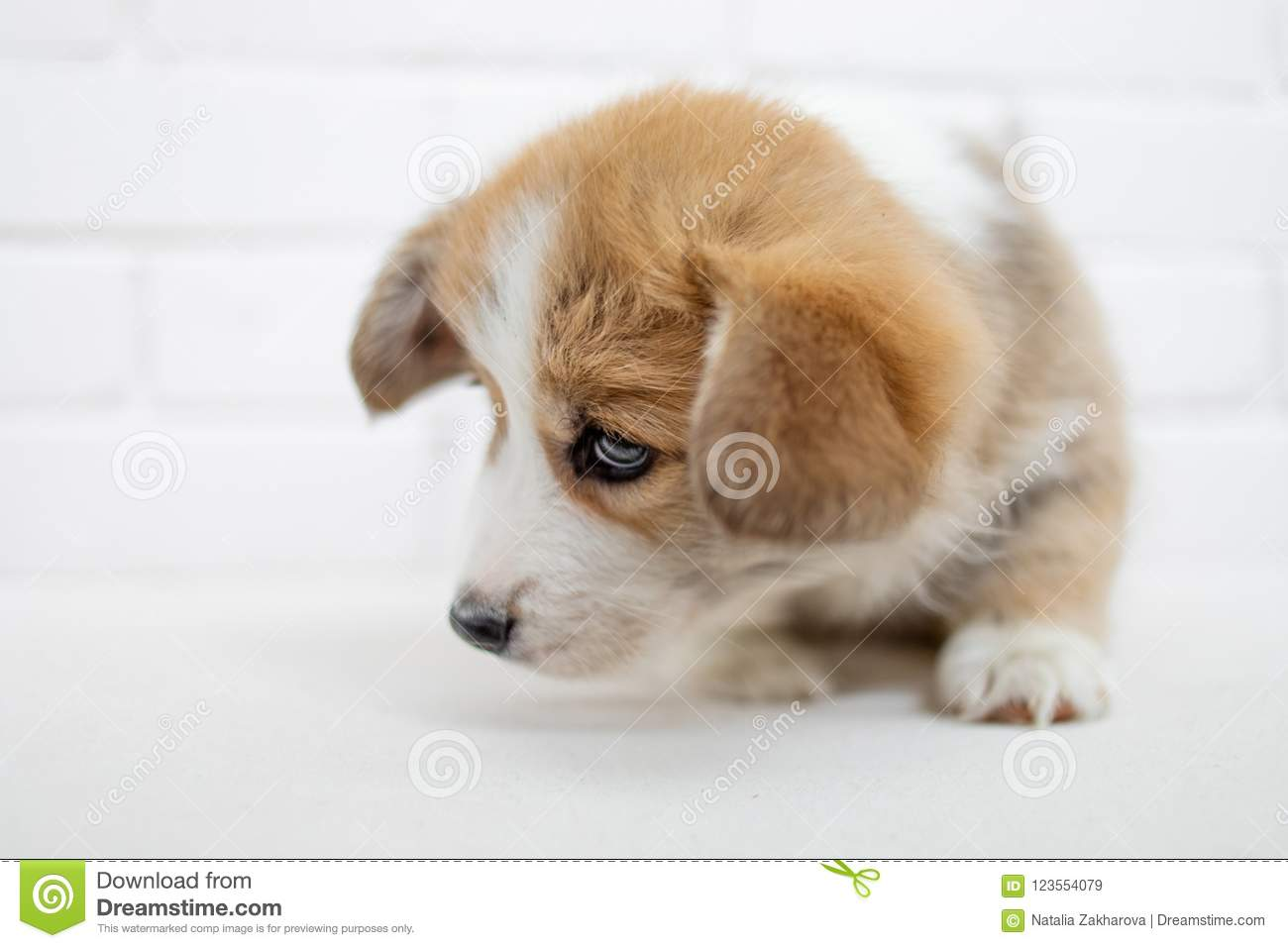Small Cute Puppy Dog Is Looking Up Studio Shot Of An Adorable F Stock Image Image Of Bright Beautiful 123554079
