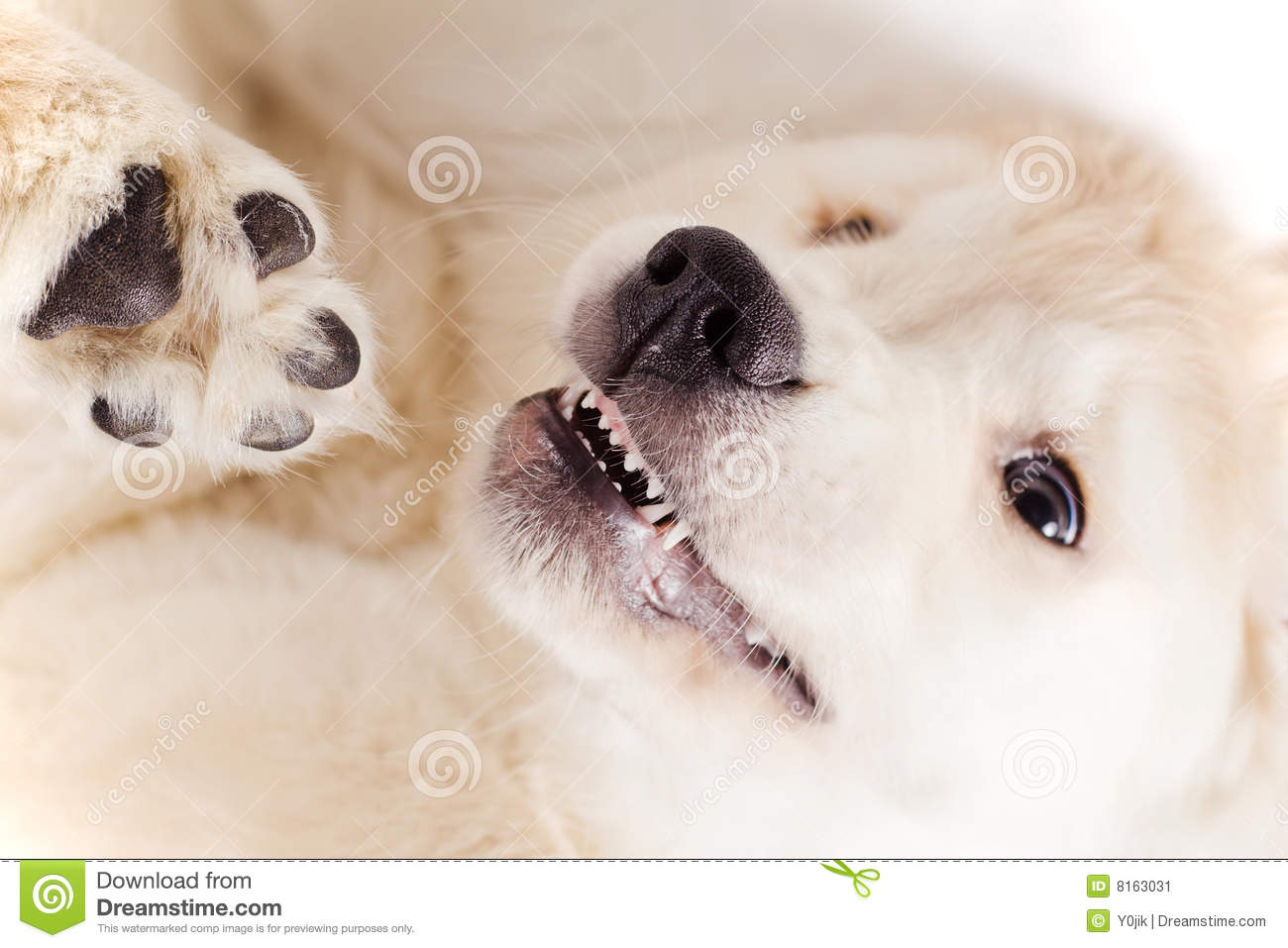 Small cute retriever puppy snout with eyes on white background.
