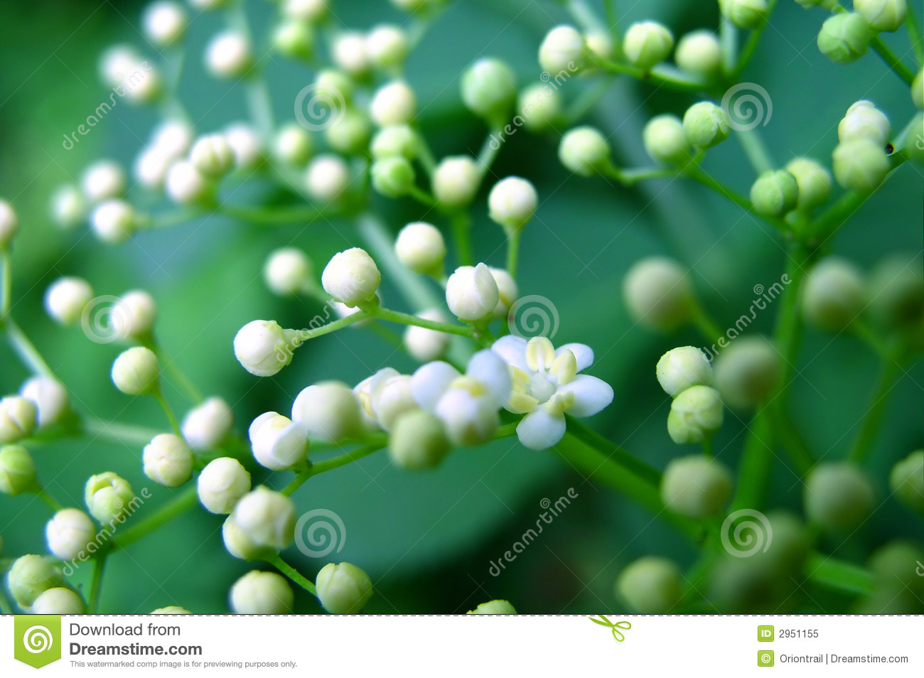 Small Cute White Flowers Royalty Free Stock Photo Image