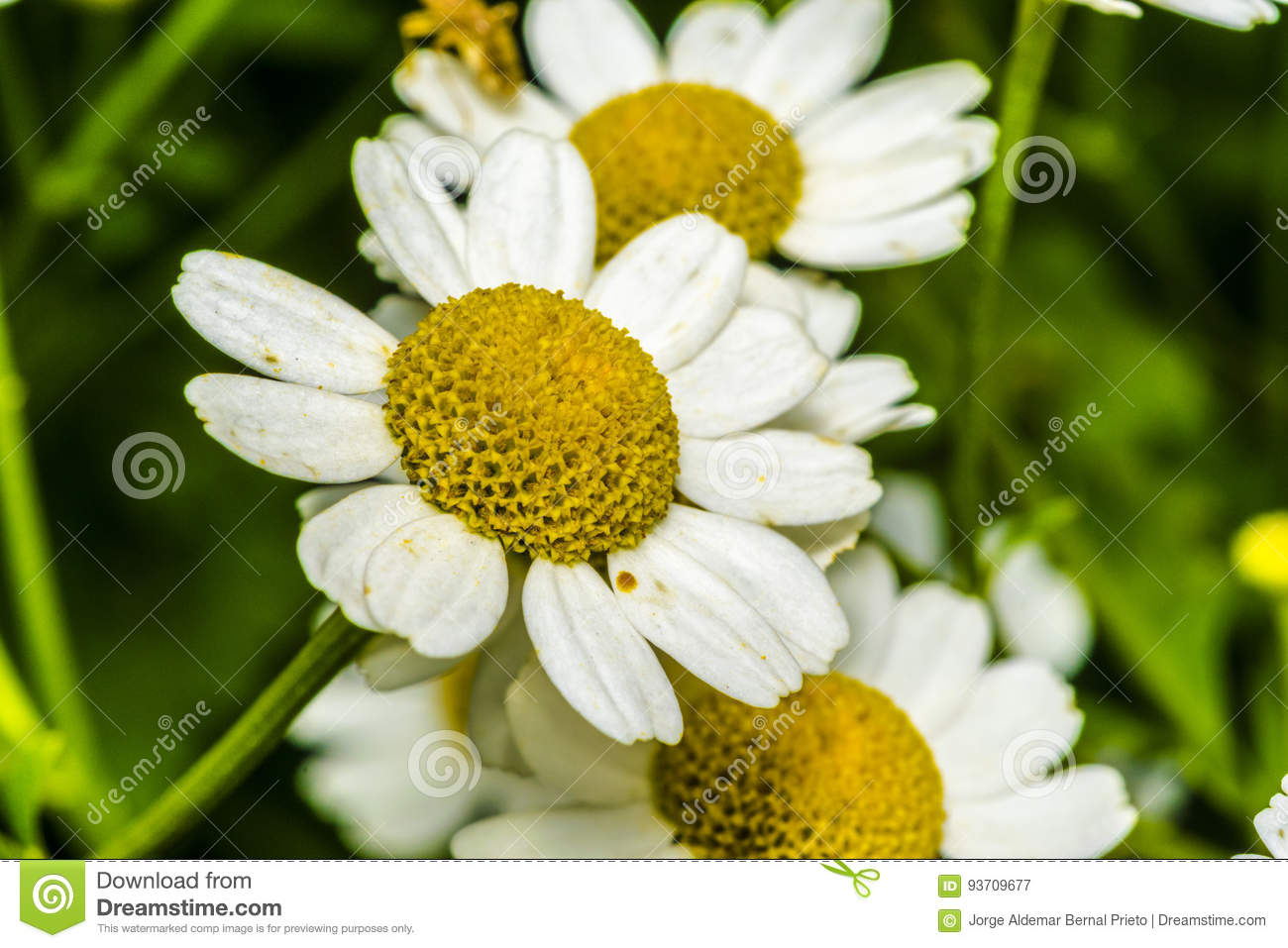 Small daisy flowers in a garden stock image image of natural small daisy flowers in a garden izmirmasajfo