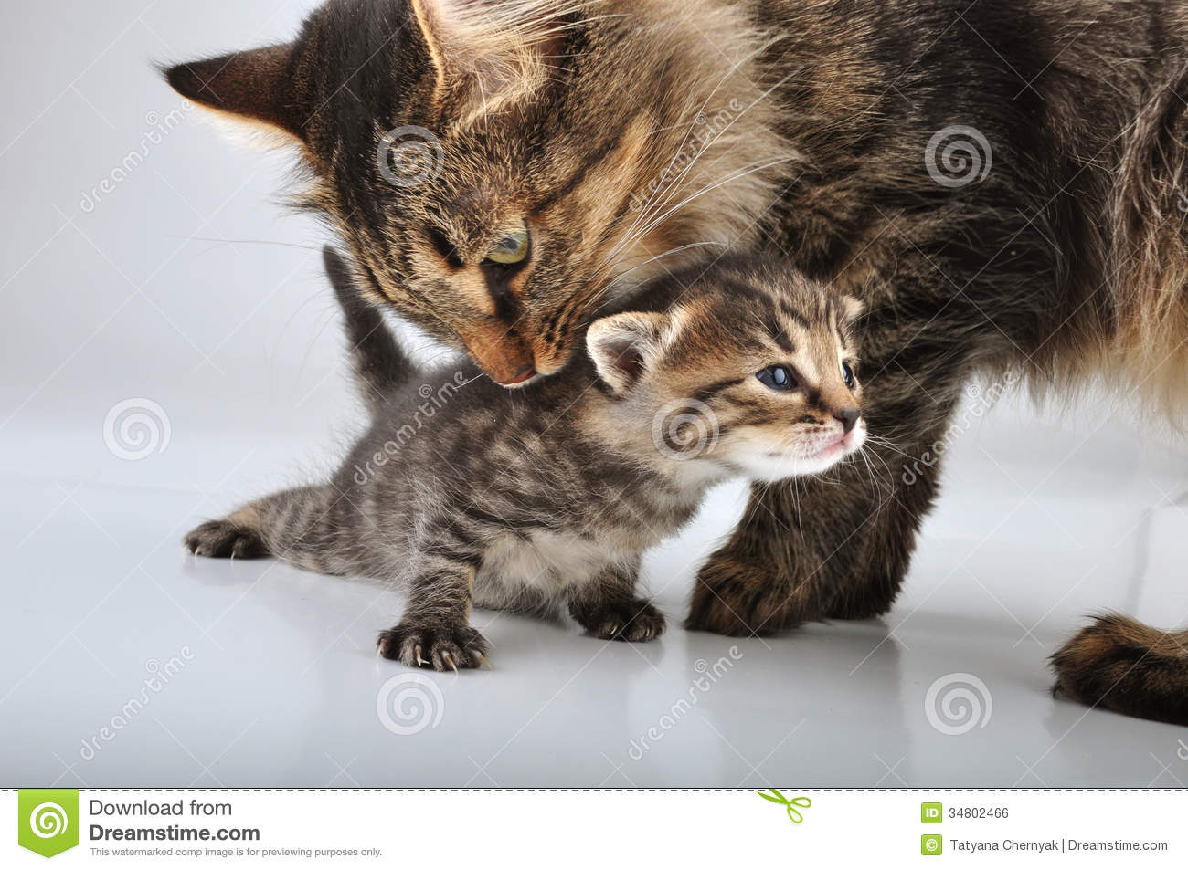 small 20 days old kitten with mother cat royalty free