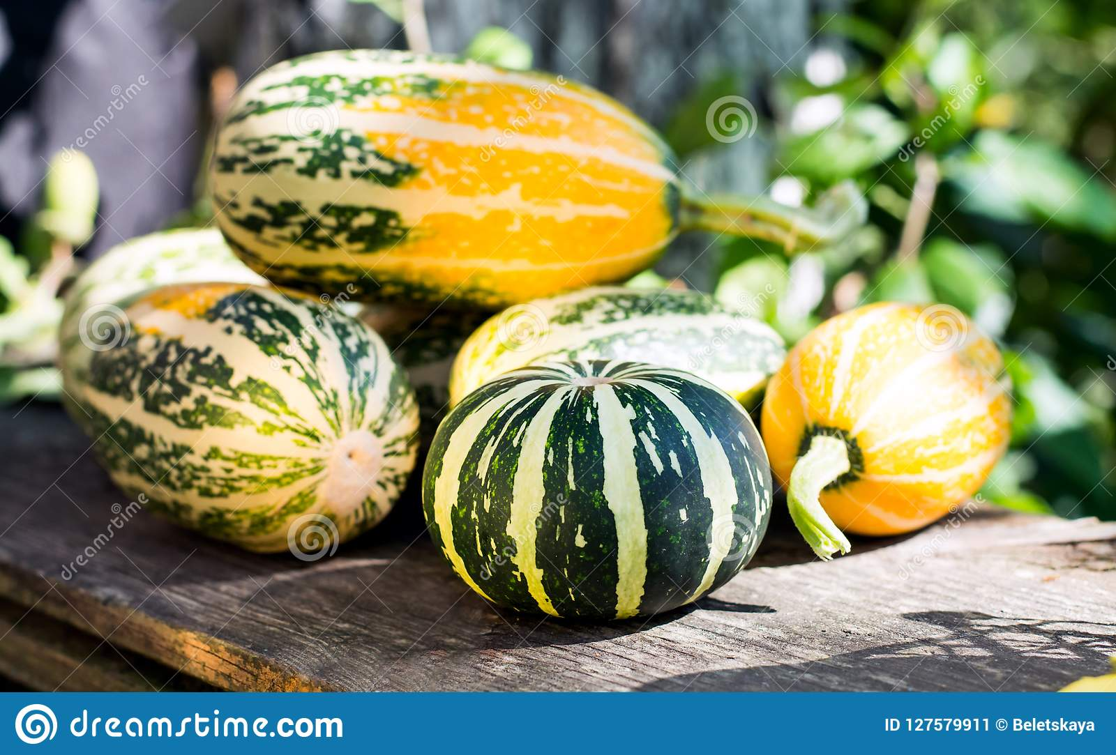 Magnificent Small Decorative Pumpkins In The Garden On A Wooden Bench Dailytribune Chair Design For Home Dailytribuneorg