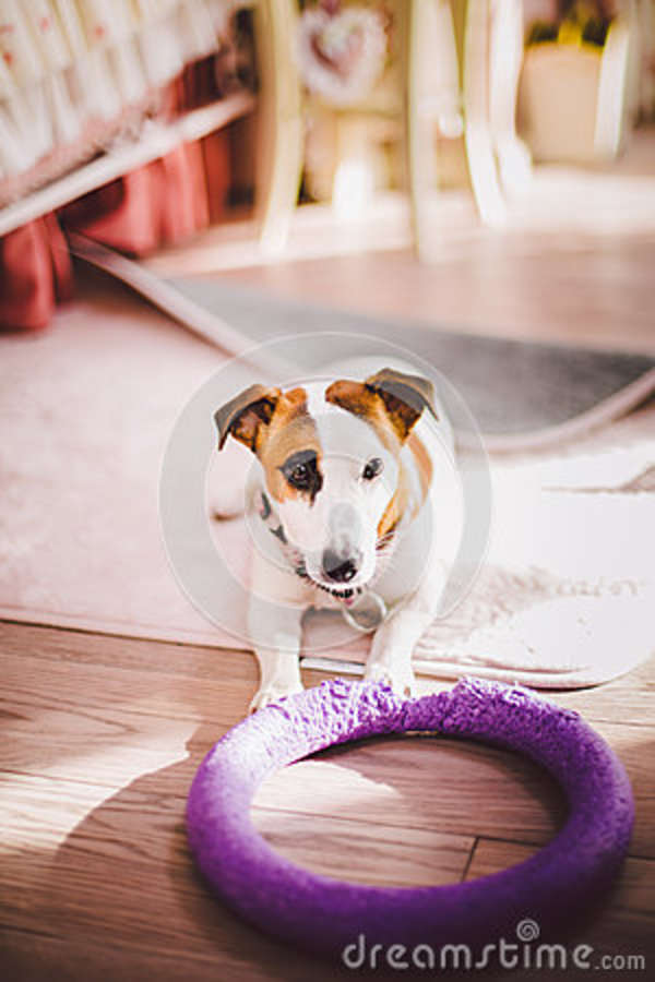 Strange Small Dog Breed Jack Russell Terrier With Black Eye In The Cjindustries Chair Design For Home Cjindustriesco