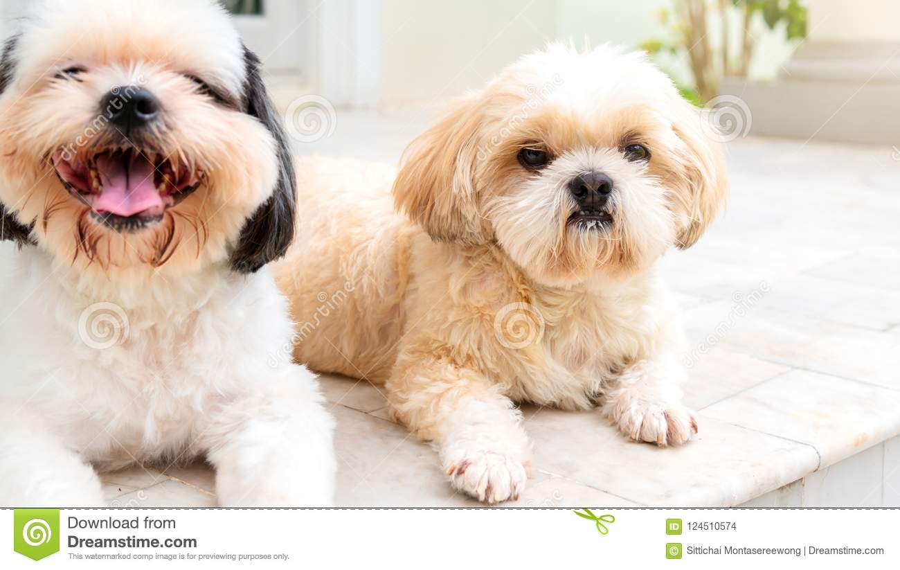 Small Dog Breeds Shih Tzu Brown And White Fur Stock Photo Image Of Doggy Eyes 124510574