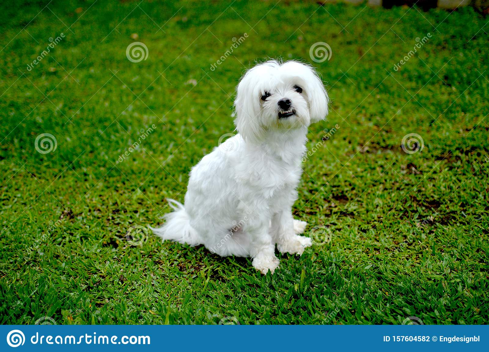 A White Maltese Dog In The Park Stock Photo Image Of White Malu 157604582