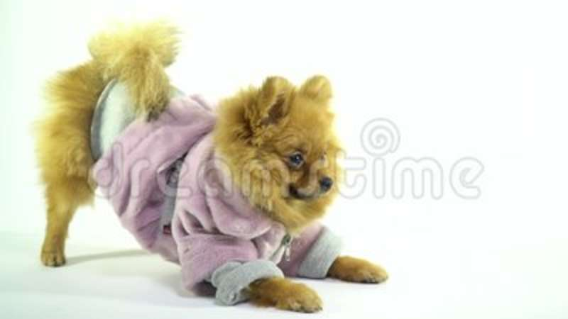 Spitz In A Dressing Gown Does Morning Exercises Stock Video - Video ...