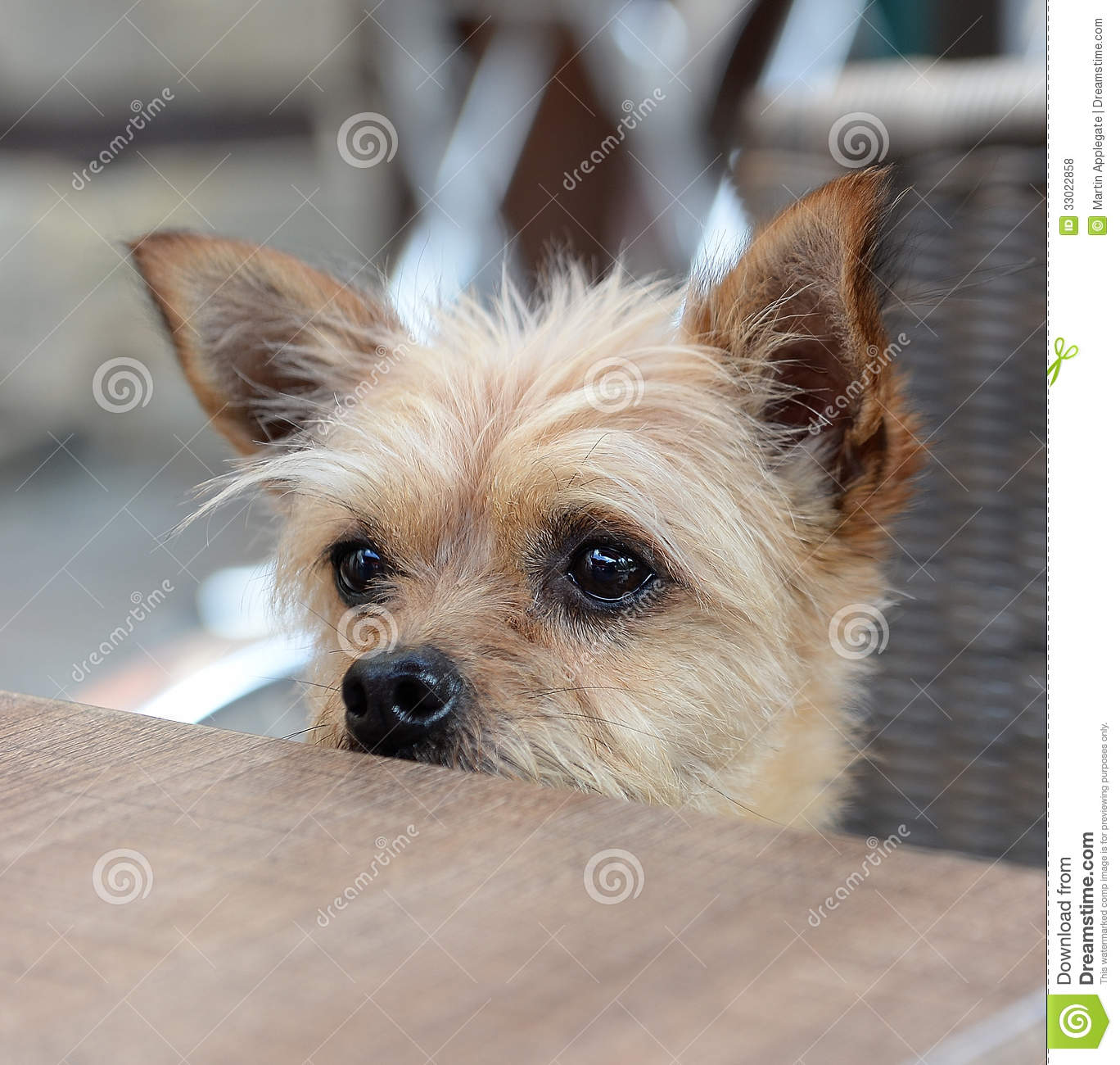 Small Dog Looking Over Table Stock Photo Image Of Funny