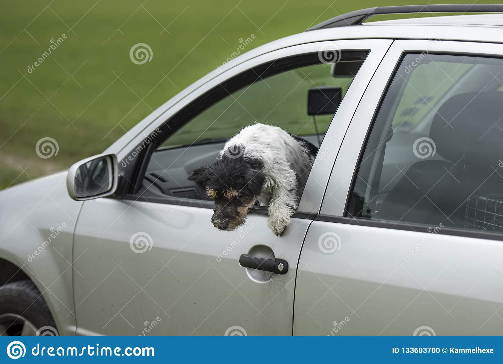 Small dog looks out of the car window - jack russell terrier