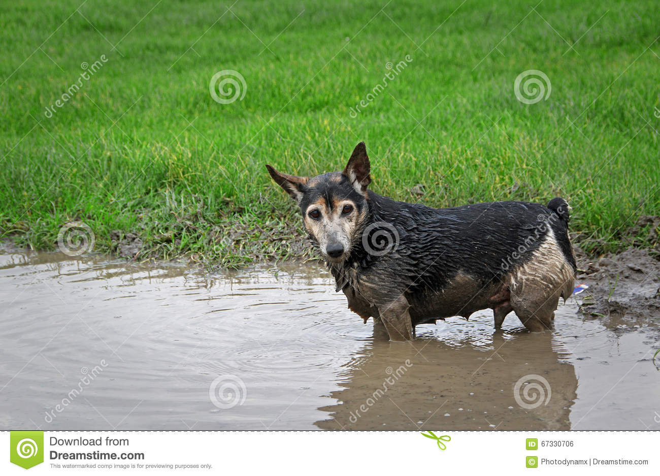 Photo of a cute dog having fun wading in a puddle and getting really ...