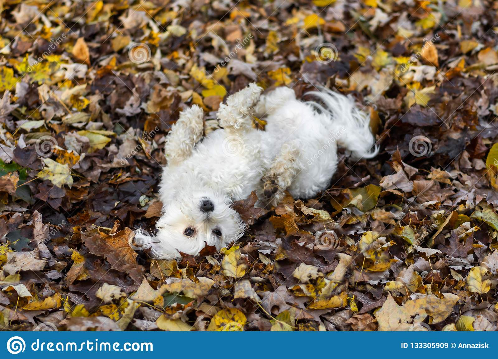 Small Dog Rolling In Leaves Stock Image Image Of Adorable Fluffy