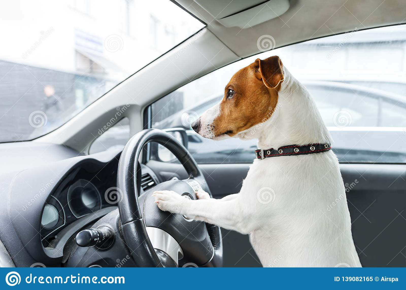 Small dog steers the car. Jack Rassell terrier take wheel