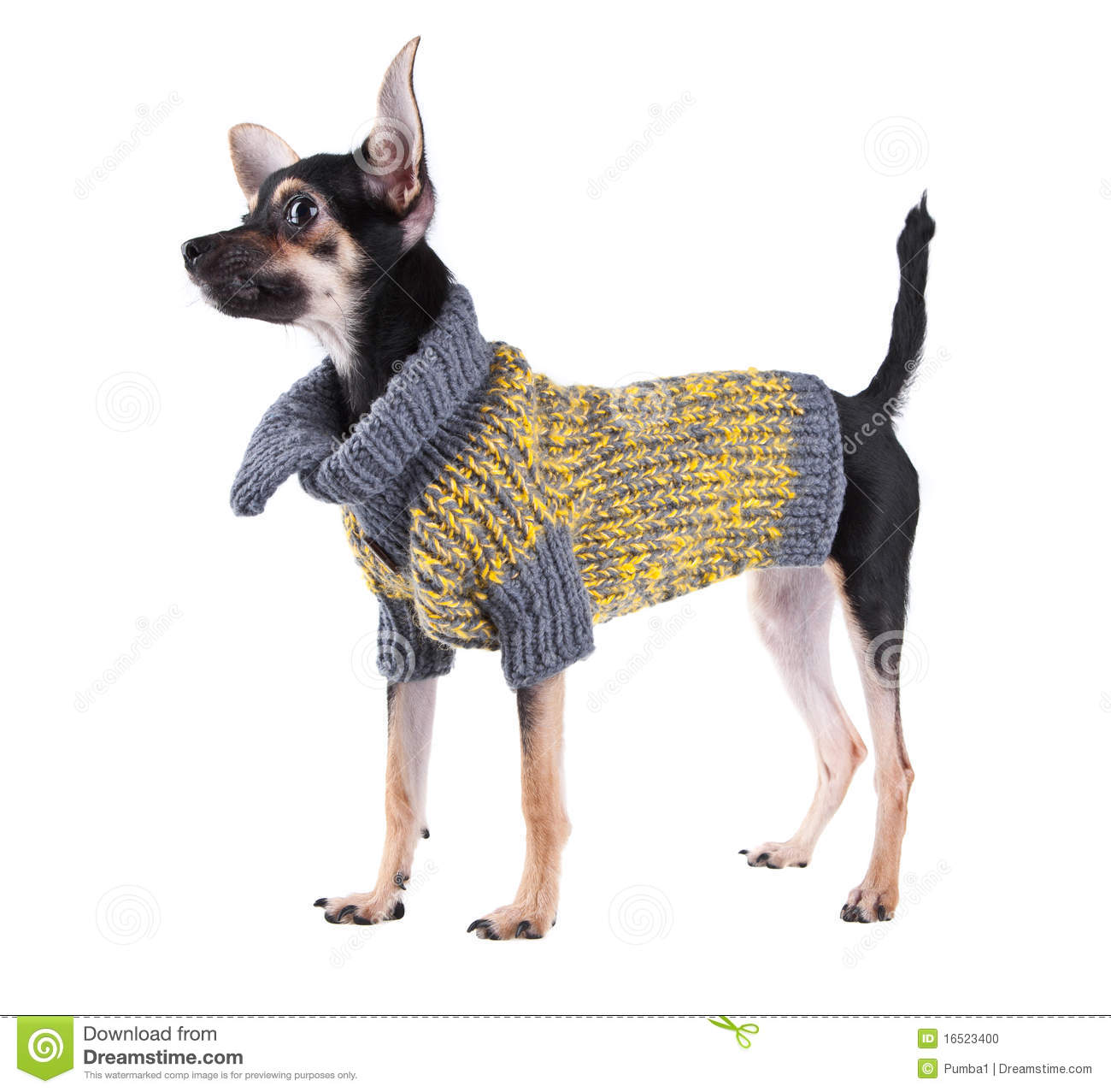 Toy Terrier Small Dogs : Small dog toy terrier in clothes stock photo image