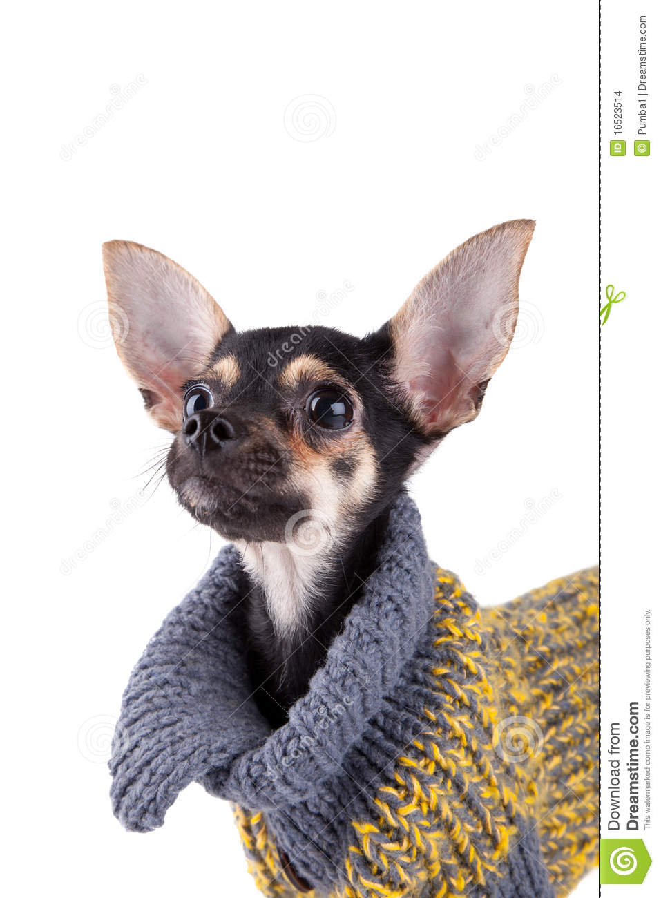 Toy Terrier Small Dogs : Small dog toy terrier in clothes stock images image