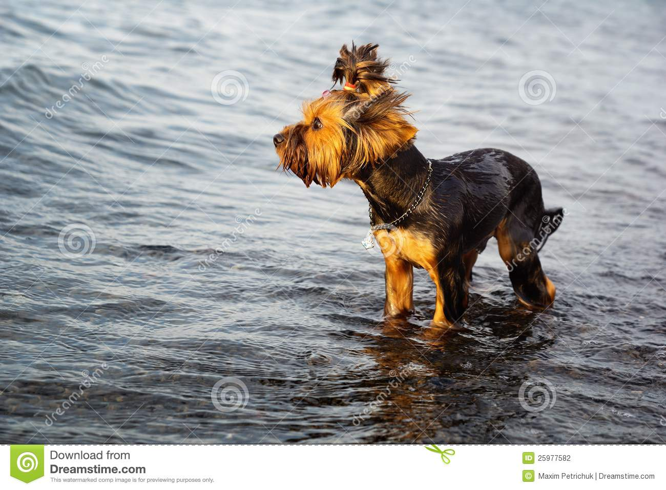 Small Dog In The Water Stock Photography - Image: 25977582