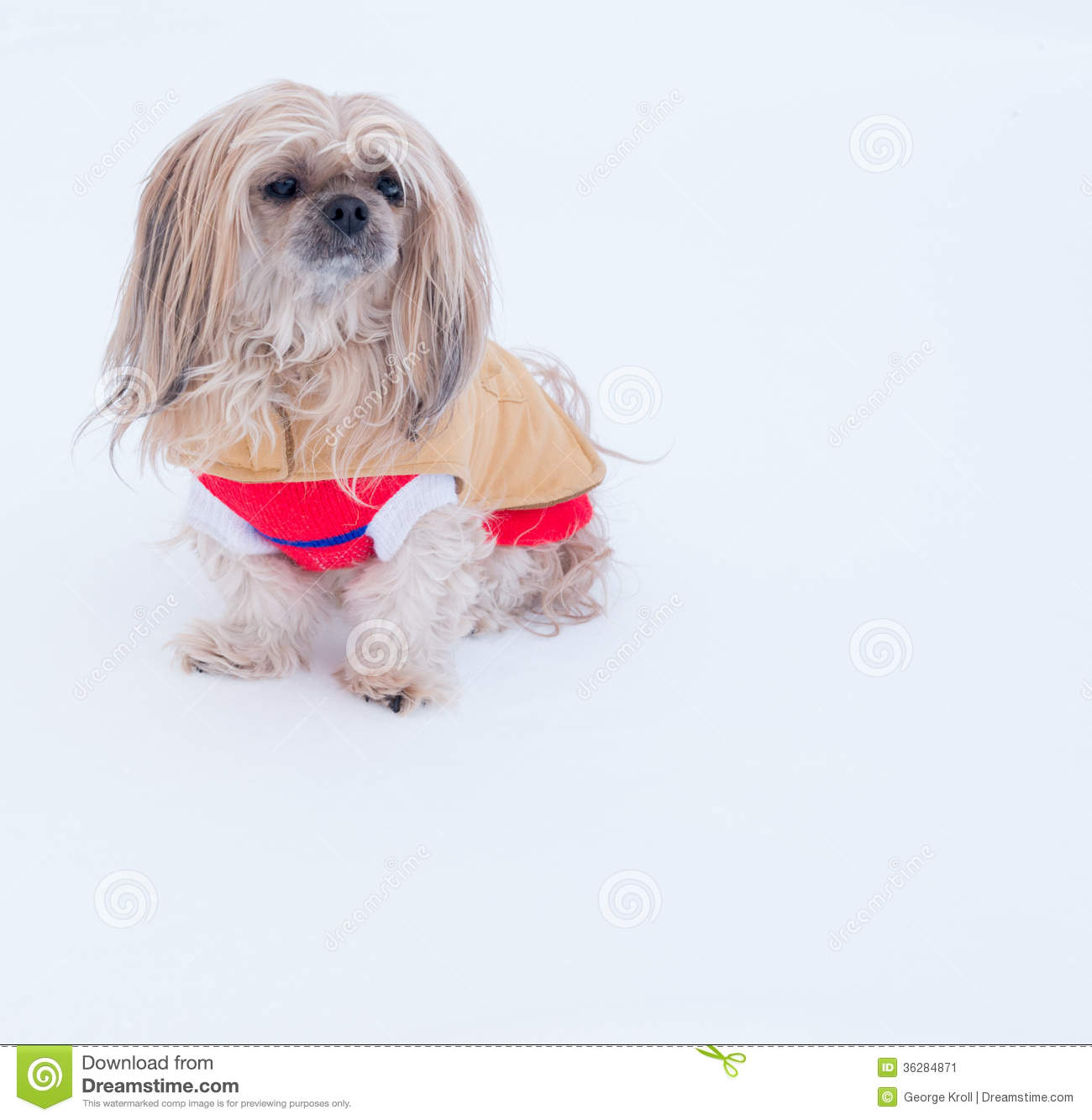 Small Dog Wearing Jacket In Winter Stock Image Image