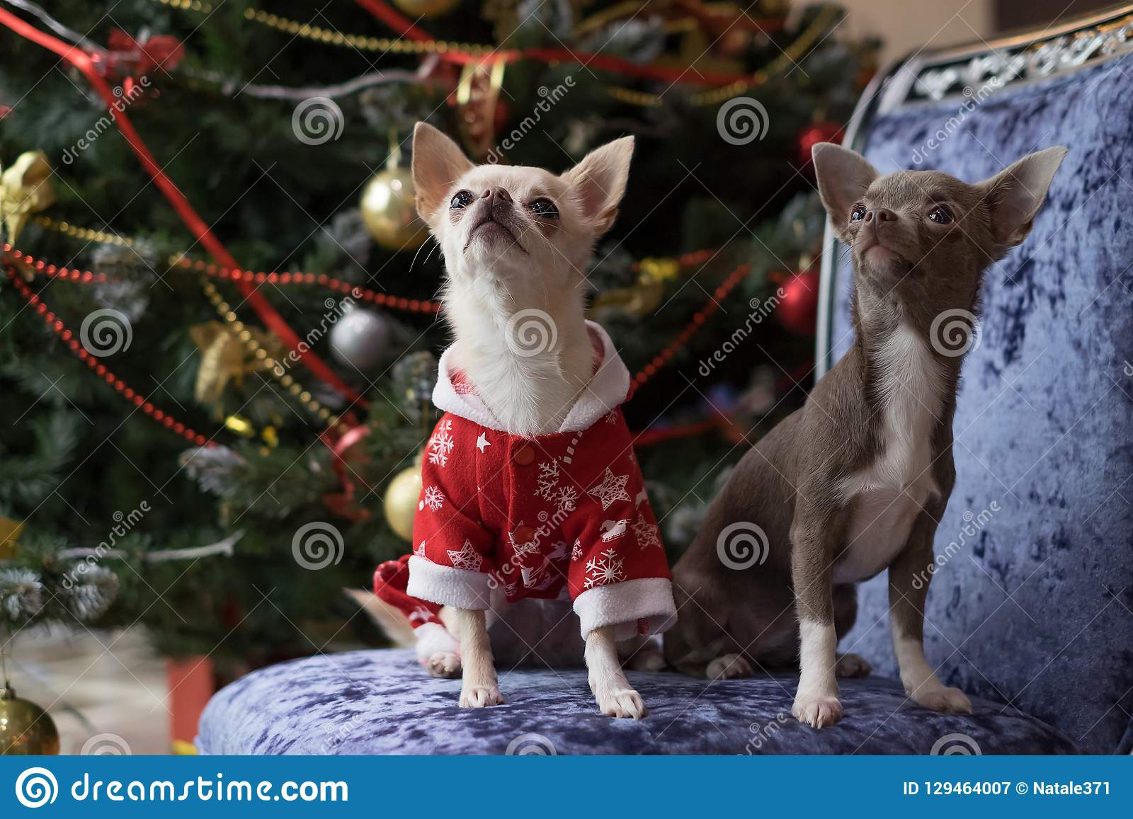 Small dogs are white and brown on the background of a decorated Christmas tree on a blue armchair.
