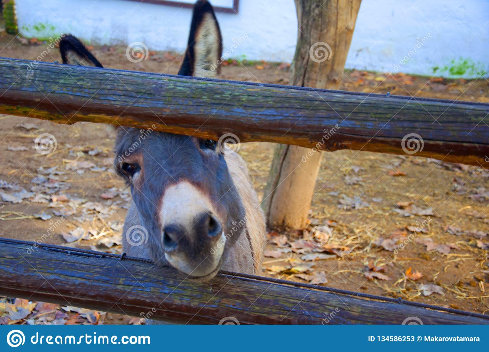Small donkey`s face, wooden fence in the zoo