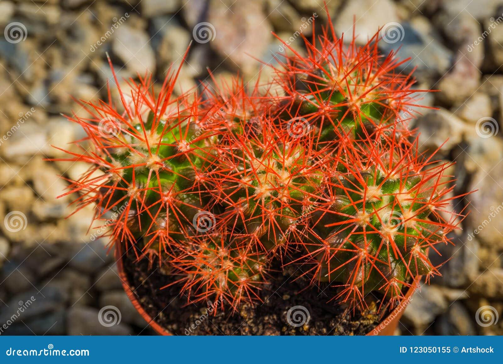 Grusonii rainbow cactus stock image. Image of sharp - 123050155 on elephant plant, aloe vera plant, skin care stonecrop plant, variegated jade plant, peperomia house plant, purple rose succulent plant, rainbow fern house plant,