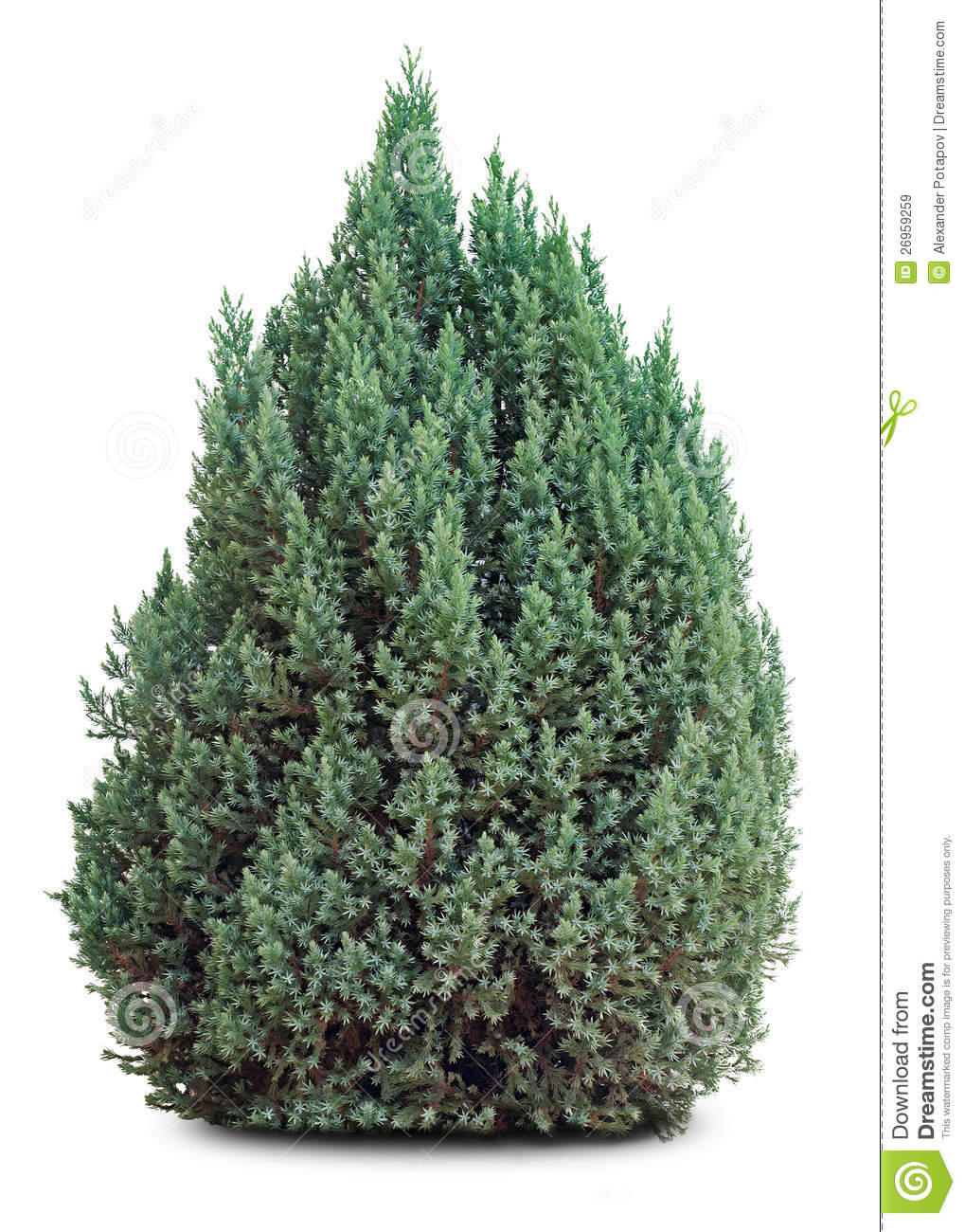 Small evergreen tree on white stock image image 26959259 for Short evergreen trees
