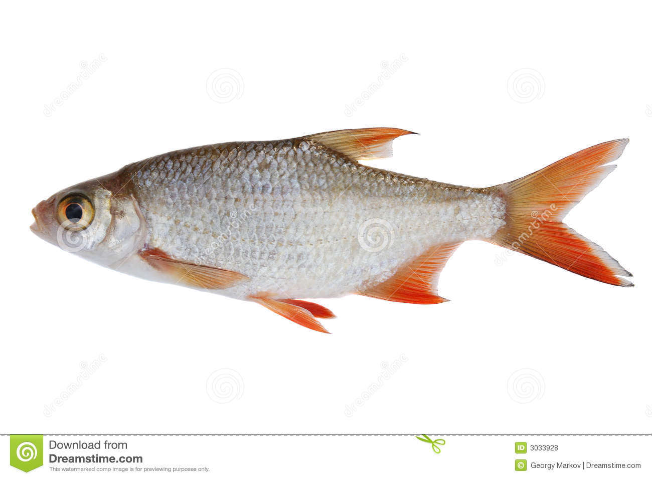 Small Fish Royalty Free Stock Photos Image 3033928