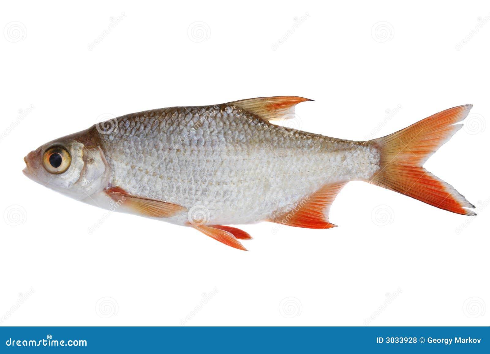 Small Fish Royalty Free Stock Photos Image 3033928