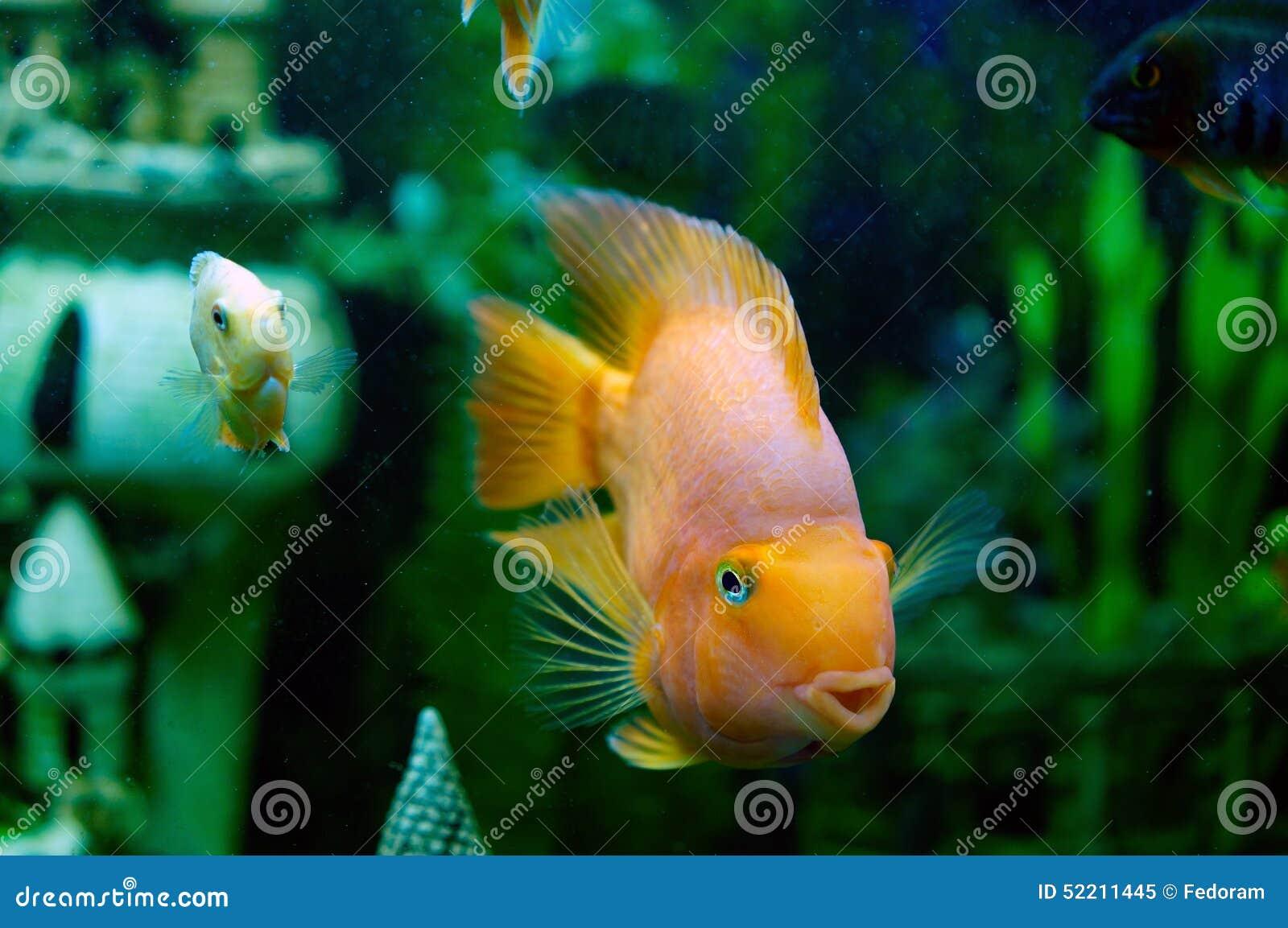 Small fish stock image. Image of goldfish, leadership - 52211445