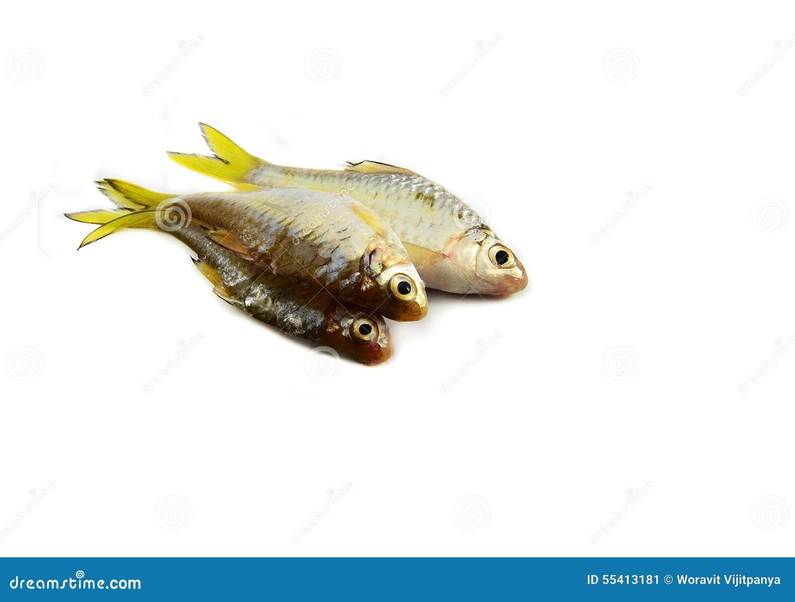 Small Fish Cyprinidae Stock Photo Image 55413181