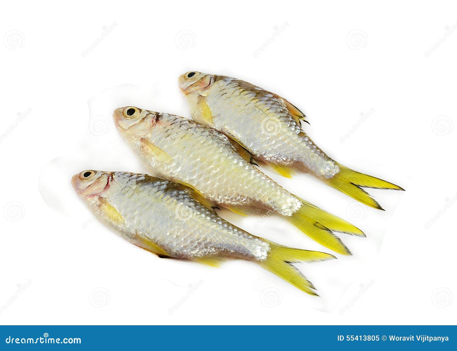 Small Fish Cyprinidae Stock Photo Image 55413805